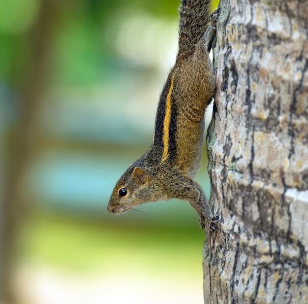 スリランカ島の野生のシマリス
