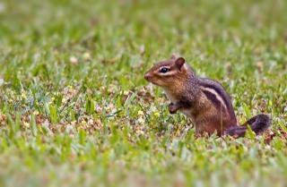Chipmunk, rodents
