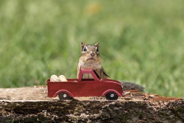 Бурундук наполняет чеки арахисом из красного грузовика к осеннему сезону