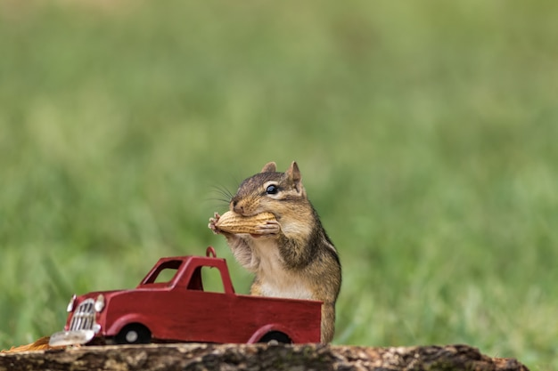 Chipmunk stuffs checks with peanuts out of red truck for fall season