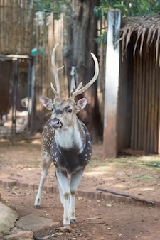 The chital or cheetal also known as spotted deer or axis deer that live in the zoo