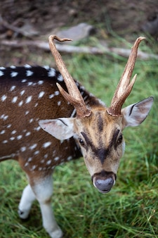 Chital, cheetal, spotted deer, axis deer, national park in thailand.
