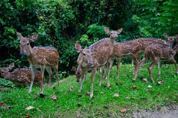 Chital deer group in wild
