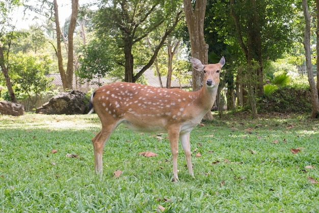 Chital spotted deer is standing on grass yard in the park