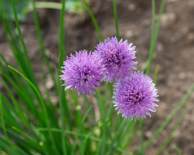 꽃이 만발한 향신료 양파 식물. 양파 꽃입니다. 향신료(allium schoenoprasum) 개화.