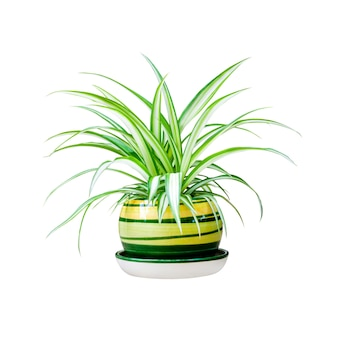 Chlorophytum comosum in a pot isolated