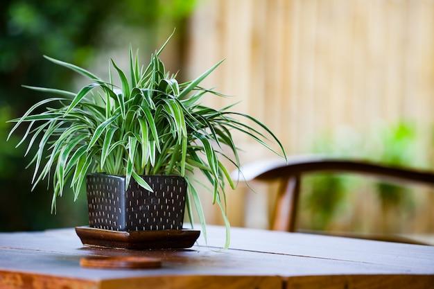 Chlorophytum in flowerpot on table. variegatum, comosum. spider plant