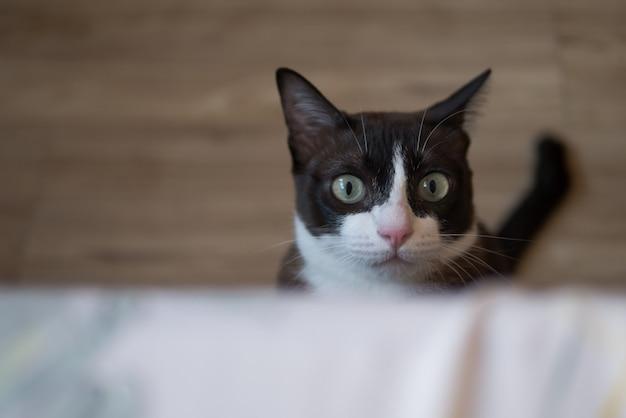 Шоколадно-коричневый кот с белой маской смотрит на что-то на потолке в концепции будущей надежды