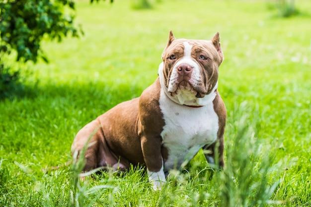 Шоколадно-коричневый цвет щенка американского хулигана на зеленой траве. собака среднего размера с компактным массивным мускулистым телом, квадратной головой и тяжелым костяком.