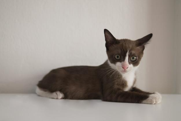 Шоколадно-коричневый котенок с белой маской смотрит на что-то на столе как на домашнее животное