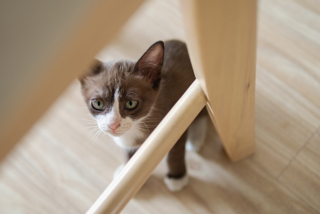 Chocolate kitten cat is hiding under wooden table chair to keep watching something