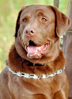 금속 고리와 초콜릿 래브라도 강아지 클로즈업입니다.