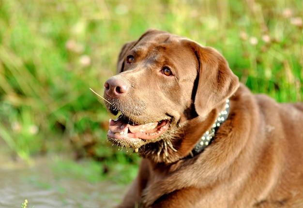 金属の首輪とチョコレートラブラドール犬のクローズアップ。