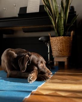 초콜릿 래브라도 혈통 개 집에서 매트에 누워 그의 집에서 기다리는 아름다운 차분한 개