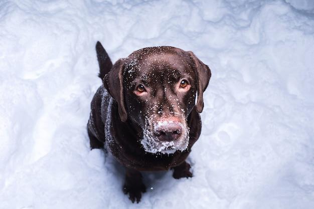 Шоколадный лабрадор ретривер сидит в снегу