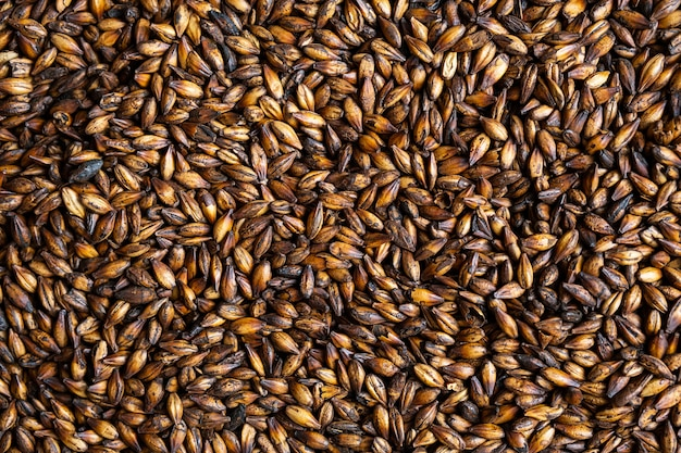 Chocolate malt grains dark malted barley for brewers