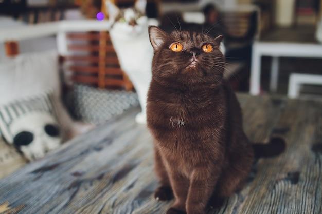 창이 노란 눈을 가진 초콜릿 스코틀랜드 고양이.