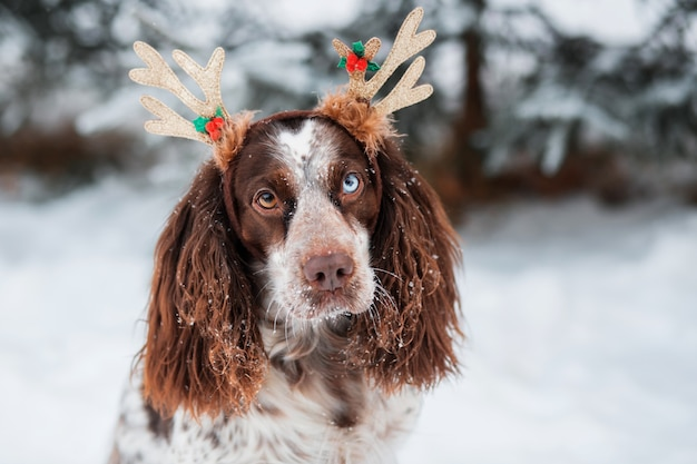 Chocolate spaniel with blue eyes in deer antler rim in winter forest