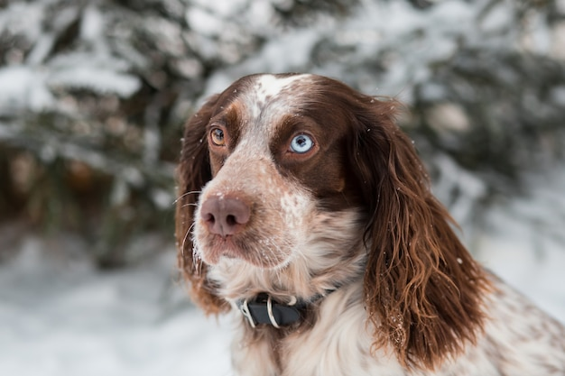 Chocolate spaniel with different eyes in winter looking at camera. close up