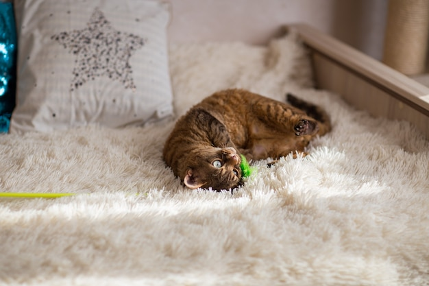 チョコレートぶちデボンレックス猫はおもちゃで遊ぶ