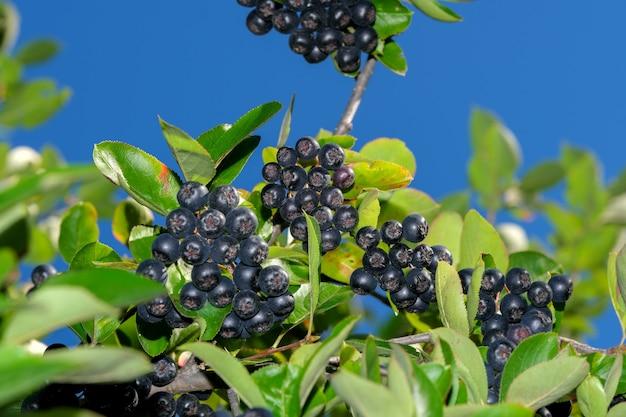 晴れた夏の日のクローズアップの枝にクラスターのチョークベリーベリー