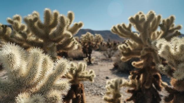 Cholla cactus oasis in dessert.