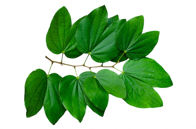 Chongkho leaves isolate bouquet decorate the design