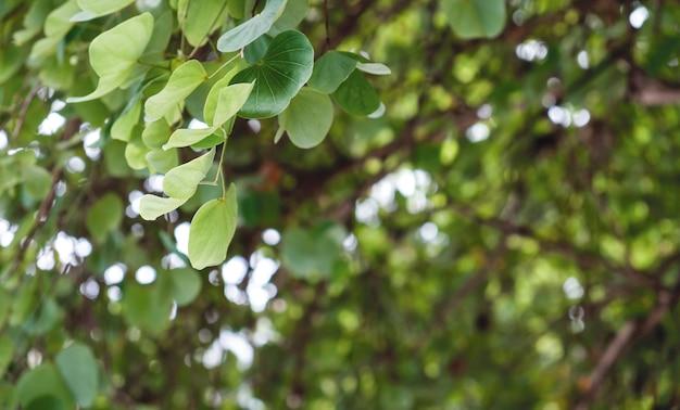 庭の緑の葉のchongkhoまたは紫色の蘭の木の背景