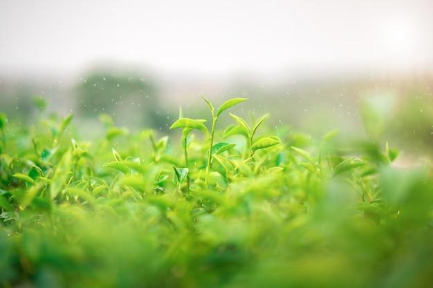 タイのチェンライにあるchoui fong teaプランテーションで育つ新鮮な緑茶の葉。
