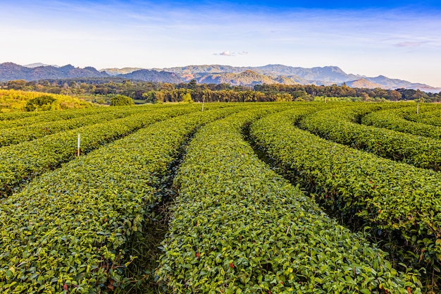 Утренний свет на плантации зеленого чая choui fong, одном из красивейших мест сельскохозяйственного туризма в районе чан