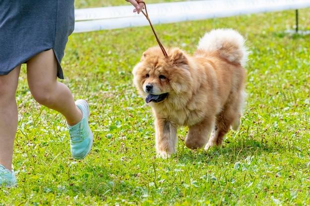 그의 여주인 근처 공원에서 산책에 차우 차우 개