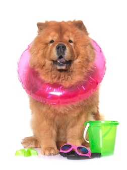 Chow chow dog in summer