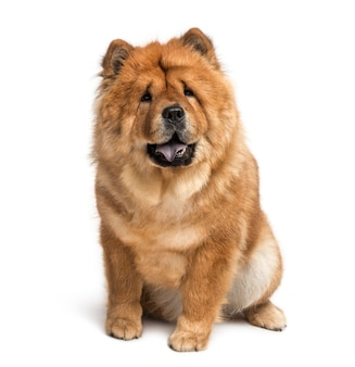 Chow chow in front of a white wall