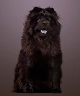 Chow chow panting, sitting on a colored background