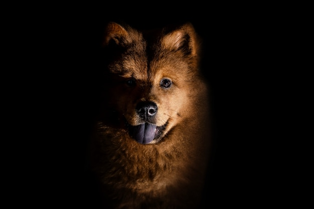 Chow chow puppy seen from the front lying down looking at the camera isolated on a black