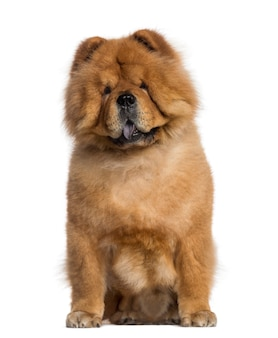 Chow chow sitting isolated on white