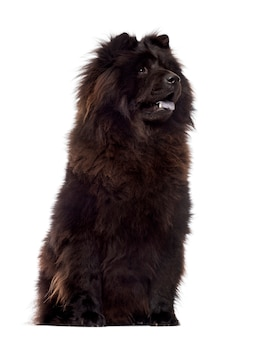 Chow chow sitting, panting, isolated on white