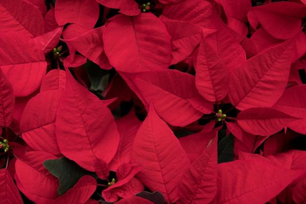 Chrismasの季節の概念:pointsettiaの花のクローズアップ。