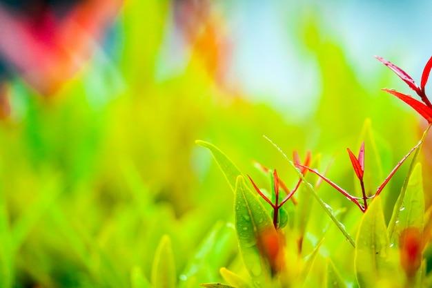 クリスティーナの赤い葉は数日雨が降った後に成長しています