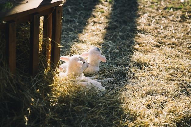 Новогодний фон с новорожденными ягнятами, лежащими в сене в лучах солнечного света