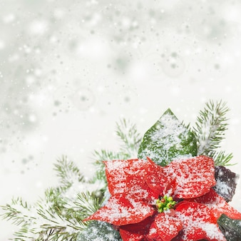 Christmas background with poinsettia on snow, text space