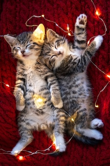 Christmas cats. two cute little striped kittens sleeping with lights garland on red