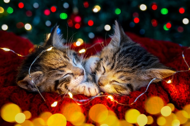 クリスマスの猫。ライトの花輪で眠っている2匹のかわいい小さな縞模様の子猫