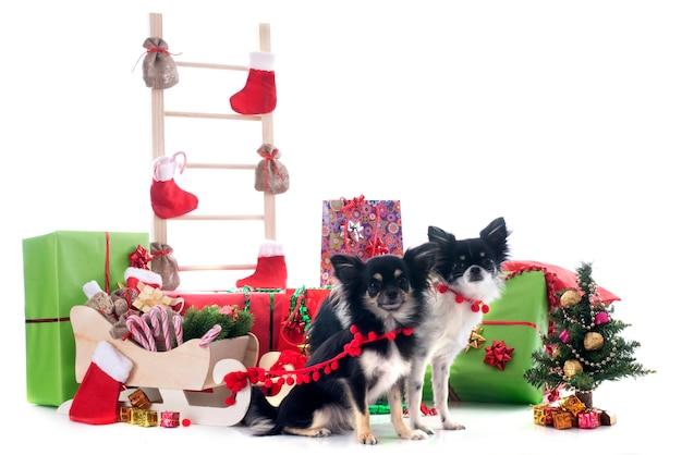 Рождественские чихуахуа