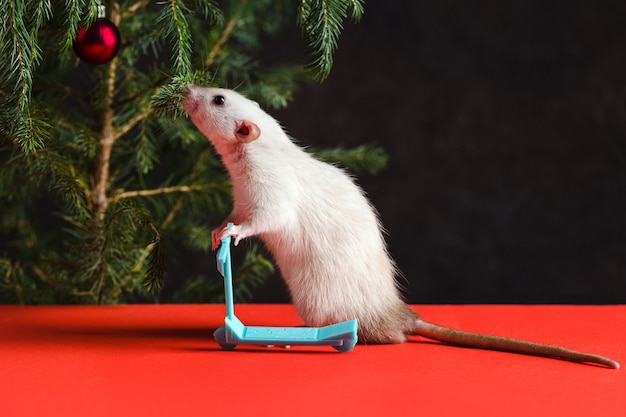 Christmas composition with a real rat. rat on a mini scooter near a christmas tree with toys on a red table