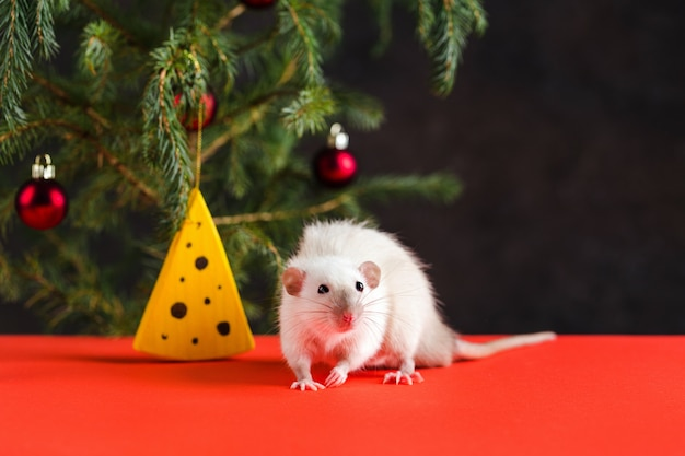 Christmas composition with a real rat. a rat near a christmas tree with toys and artificial cheese.