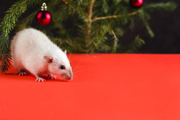 Christmas composition with a real rat. a rat on red table near a christmas tree with toys. christmas card