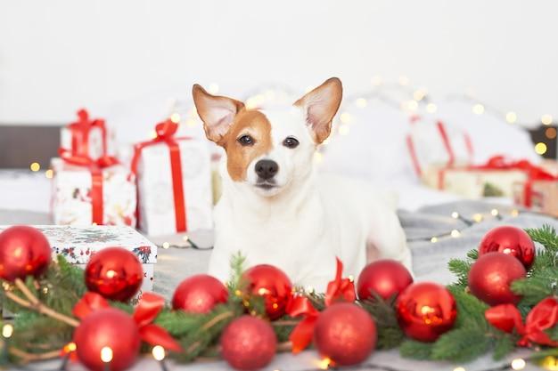 Рождественская собака джек рассел на кровати в новогоднем декоре