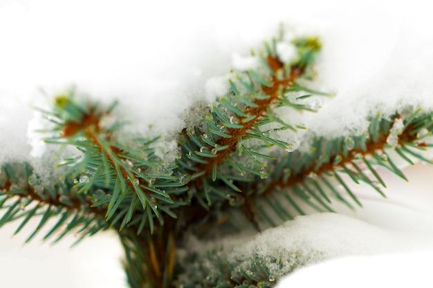 白地に新雪のクリスマス常緑トウヒの木