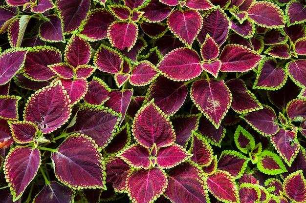 Рождественские цветы, пуансеттия с зелеными и коричневыми листьями для фона. вид сверху, цвет листьев яркий